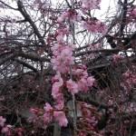 DSCN396枝垂れ桜